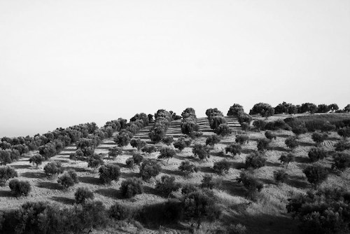 View of the olive fields of Herdeiros Passanha